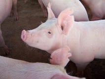 свиньи Стоковые Изображения