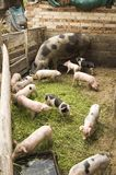 свиньи Стоковое Фото