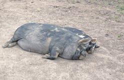 свиньи 2 Стоковое Фото