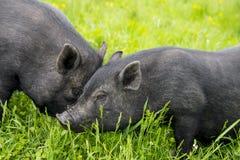 2 свиньи Стоковая Фотография