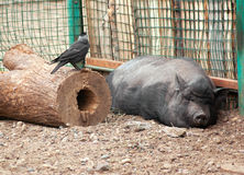 Свиньи Стоковые Фотографии RF