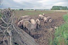 свиньи Стоковые Изображения RF