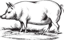 Свиньи бесплатная иллюстрация