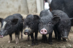 4 свиньи стоковые фотографии rf