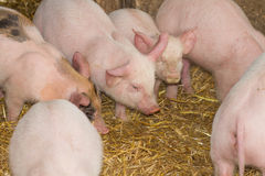 свиньи Стоковое Изображение
