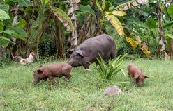 Свиньи Baracoa Куба Стоковое фото RF