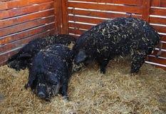 Свиньи Mangalitsa в hutch стоковая фотография