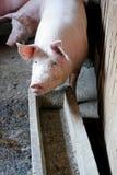 свиньи piggery Стоковое фото RF