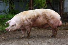 Свинья больших денег ждать хавроний на сельском скотном дворе Стоковое Изображение RF