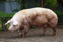 Свинья больших денег ждать хавроний на сельском скотном дворе Стоковые Изображения