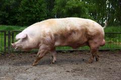 Свинья больших денег ждать хавроний на сельском скотном дворе Стоковое Фото