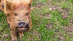 Свинья Брайна смотря int он camaera стоковые фото
