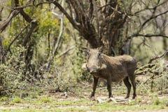 Свинья Буша Стоковое фото RF
