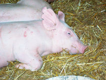 Свинья в амбаре Стоковое Изображение