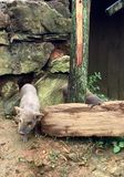 Свинья в деревне стоковые фото