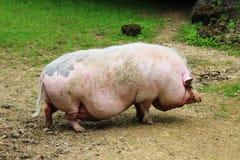 Свинья в зоопарке Стоковые Фото