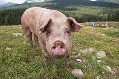 Свинья в ручке Стоковая Фотография