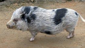 Свинарник Стоковые Изображения