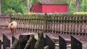 Свинья в хлеве около деревенского красного амбара Стоковые Фотографии RF