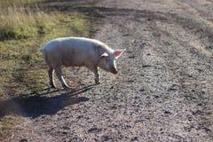 Свинья для прогулки стоковые фотографии rf
