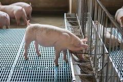 Свинья есть еду Стоковая Фотография RF
