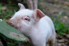 Свинья есть кактус Стоковое фото RF