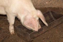 Свинья есть на ферме Стоковые Изображения RF