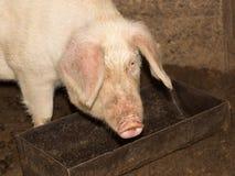 Свинья есть на ферме Стоковое Изображение