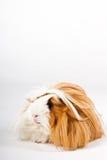 свинья изолированная гинеей Стоковая Фотография