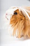 свинья изолированная гинеей Стоковые Фото