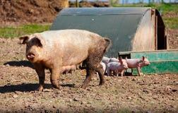 Свинья и поросята хавроньи Стоковое Изображение