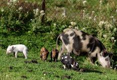 Свинья и поросята стоковое фото rf