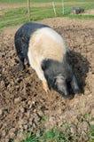 Свинья и черная свинья в поле Стоковые Фотографии RF