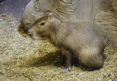 Свинья капибары или воды Стоковые Фотографии RF