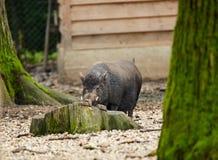Свинья карлика в плене Стоковые Фотографии RF