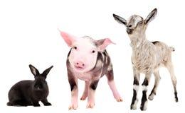 Свинья, кролик и коза Стоковое фото RF