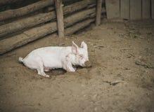 Свинья кладя в грязь с грязью на свой нос Стоковое фото RF