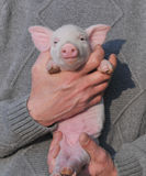 свинья малая Стоковая Фотография RF
