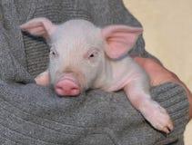 свинья малая Стоковая Фотография