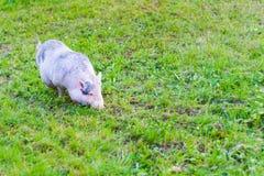 свинья малая Стоковое Изображение