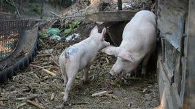 Свинья младенца с матерью сток-видео