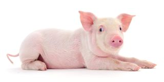 Свинья на белизне Стоковые Изображения