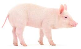 Свинья на белизне Стоковое Изображение