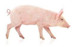 Свинья на белизне Стоковая Фотография RF