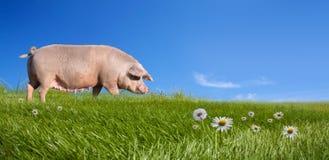 Свинья на зеленом поле Стоковое Изображение