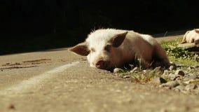 Свинья на дороге горы сток-видео