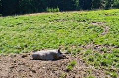Свинья на поле Стоковая Фотография