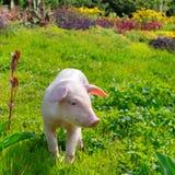 Свинья на предпосылке зеленой травы и цветков Стоковое фото RF