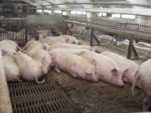 Свинья на свиноферме в восточном Сибире Стоковое фото RF