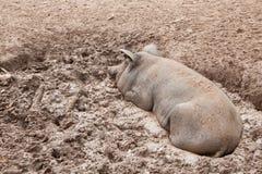 Свинья на хлеве Стоковые Изображения RF